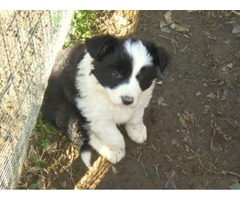 Cuccioli di Border Collie di alta genealogia