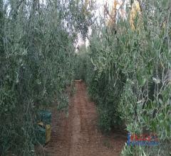 Terreno pianeggiante vicino al paese con olivi
